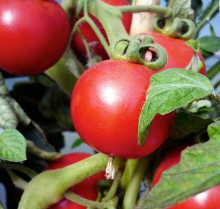 tomate-saint-pierre